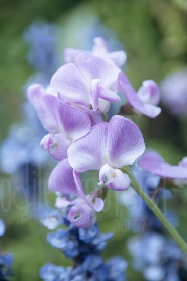 fleurs-41